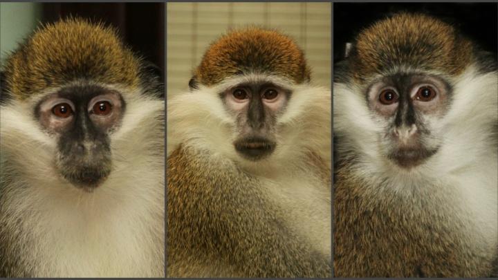 Зелёным мартышкам, которые недавно поселились в екатеринбургском зоопарке, выбрали имена
