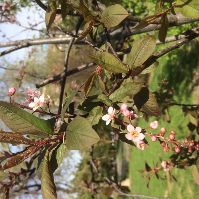 Розовая черемуха