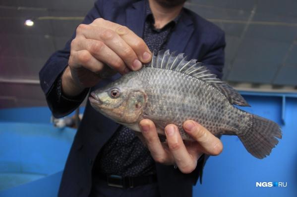 Тилапия хорошо известна новосибирским покупателям, но мало кто видел эту рыбу целиком