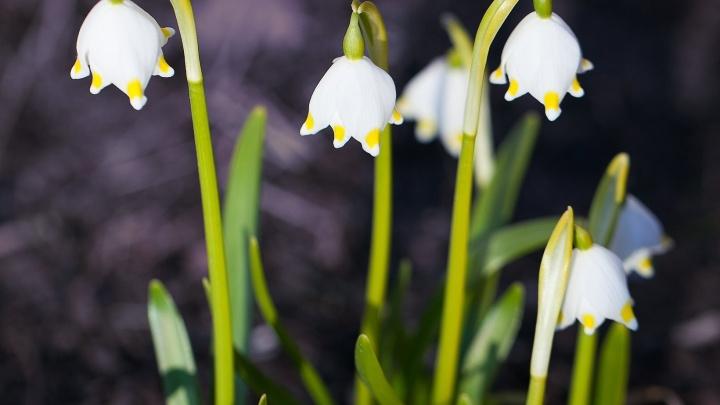 В Новосибирске распустились необычные белые цветы с жёлтыми пятнами