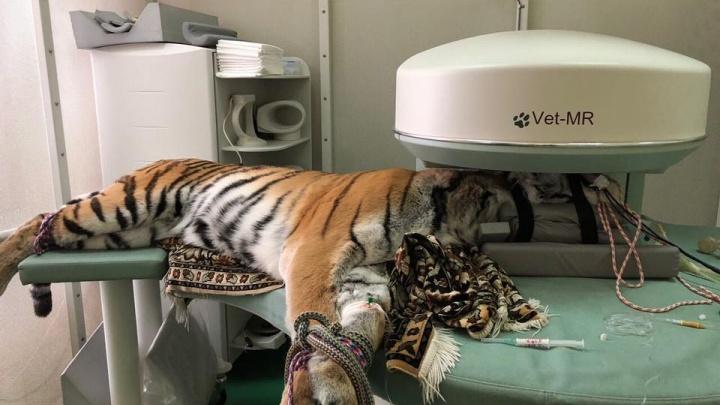 Новосибирские ветеринары обследовали тигрицу, упавшую в обморок прямо на сцене