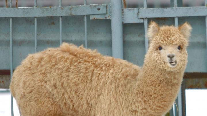 В Ростове скоро свадьба: в зоопарк привезли жениха-альпака