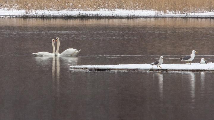 Боятся людей и собак: на челябинском пруду поселились белые лебеди