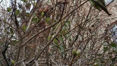 Перед морозами в Новосибирске распустились зелёные листья. Чем это грозит растениям