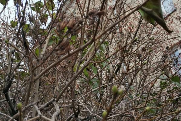 По словам эксперта, листья у сирени распустились из-за резкой смены погоды