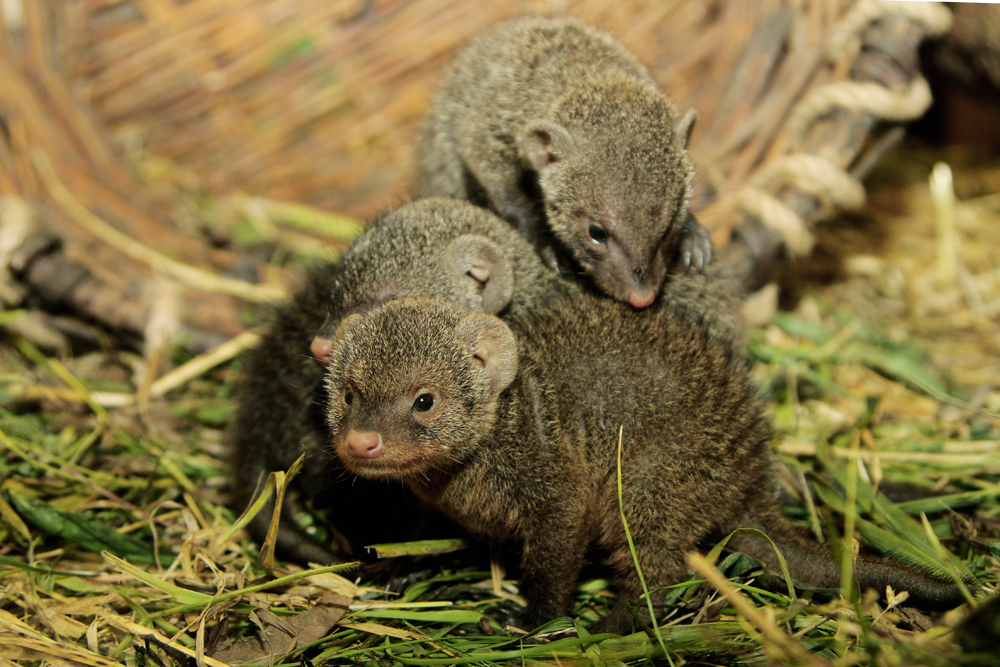 В «нетрадиционной» семье мангустов в екатеринбургском зоопарке появились малыши