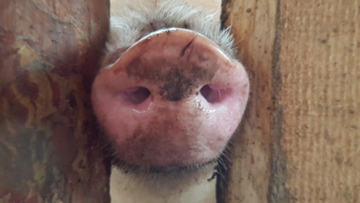 В Садовом дезинфицируют место сожжения 16 тонн свинины