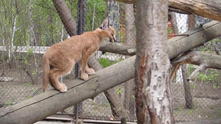 Видео: в зоопарке начали гулять ушастые котята каракалов