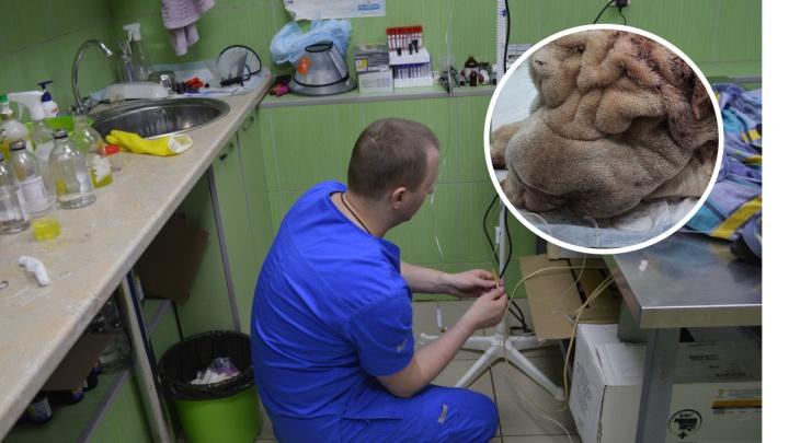 Покусанный бродячими собаками шарпей умер в пермской ветклинике