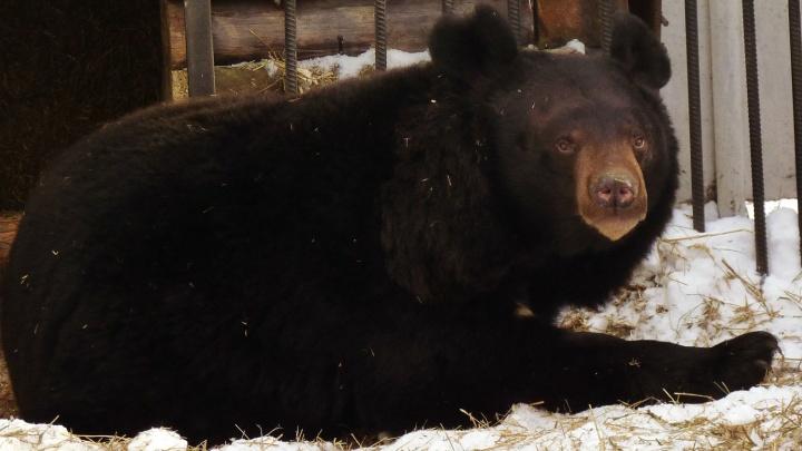 Большереченский медведь Кузя вышел из спячки — он ничего не хочет и думает о своём