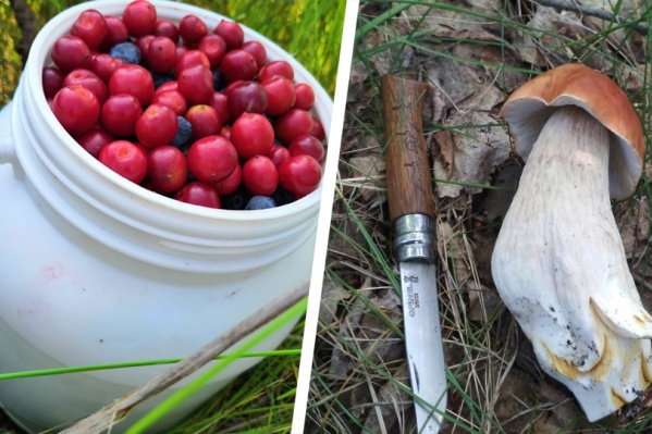 В лесах под Новосибирском вовсю растут грибы и созрели ягоды