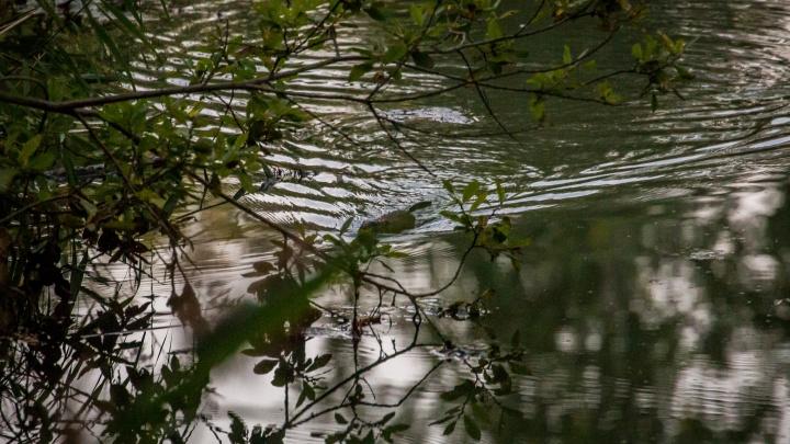 Бобёр начал строить плотину рядом с дорогой на Шлюзе — улицу может затопить