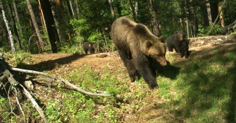 Полицейский застрелил вышедшего клюдям медведя вКрасноярском крае