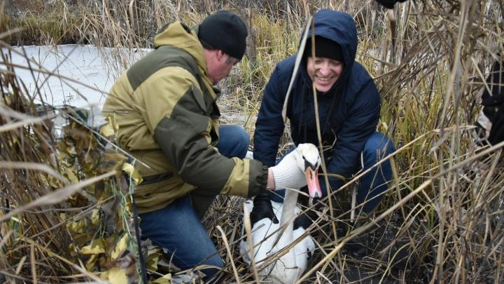 Под Тюменью все-таки спасли травмированного лебедя, который замерзал на водоёме