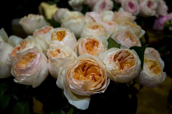 Пионовидная роза распускается до 10 сантиметров в диаметре