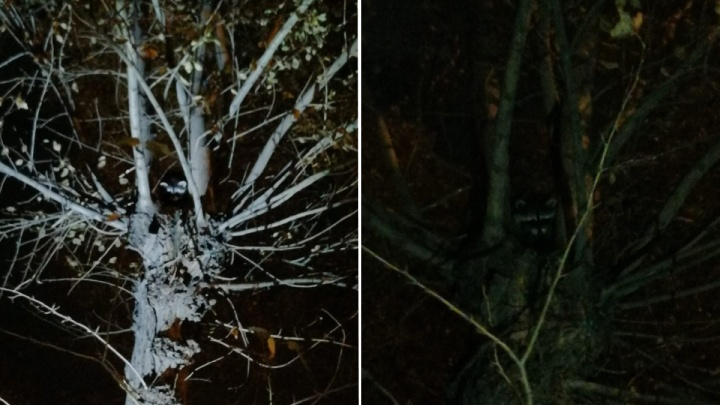 «Оказался тем еще козлиной»: общественники и МЧС сняли с дерева буйного енота