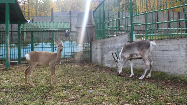 Спасенную в Красноярске косулю выпустили в дикую природу после небольшого лечения