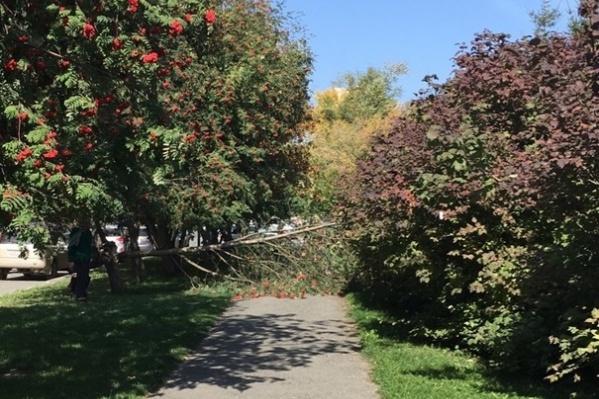 Дерево упало на улице Семьи Шамшиных
