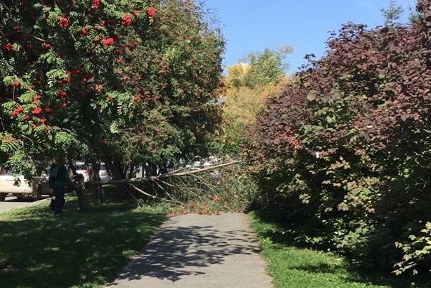 Сильный ветер начал валить деревья в Новосибирске