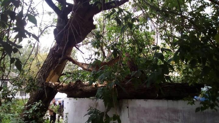 Огромный старый клён развалился во дворе Заельцовского района