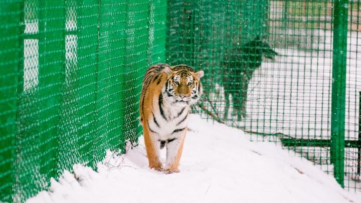 Редкая тигрица в ярославском зоопарке нашла себе клыкастых друзей