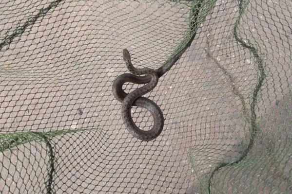 Пойманный змей оказался неядовитым водяным ужом