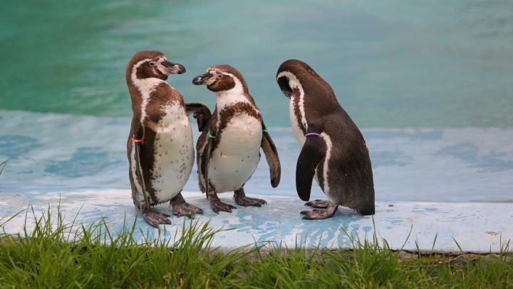 Пингвинов в «Роевом ручье» переселили на улицу, и они устроили шоу перед посетителями