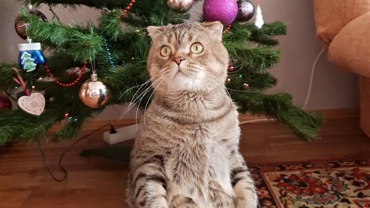 Ёлки хвостатые: смотрим, как смешно позируют у новогоднего деревца эти 12 тюменских кошек и собак