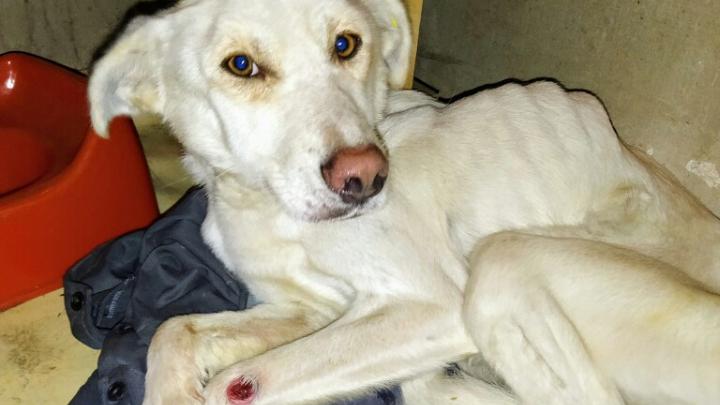 «Пес на ногах не мог стоять»: волонтеры заявили, что на уральской передержке собак доводят до смерти