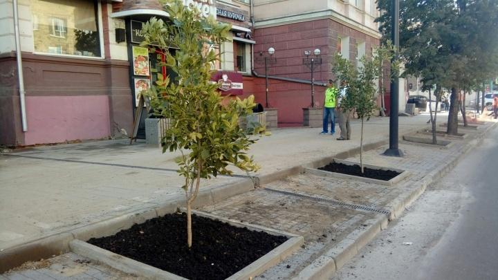 На проспекте Мира началась высадка ясеней: чиновники обещают, что вырастут 170 высоких деревьев