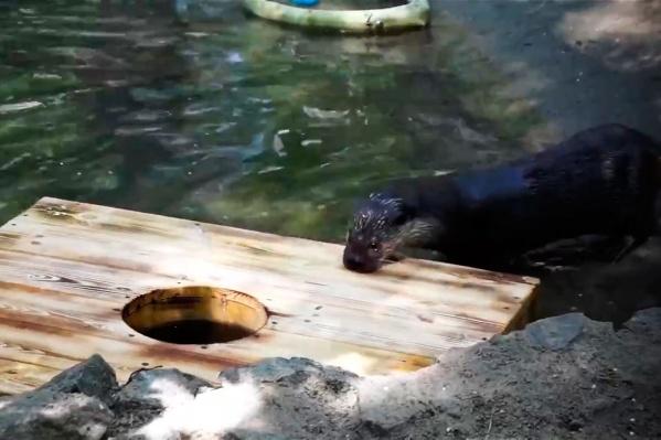Выдрам из зоопарка подарили плот, чтобы обогатить их среду обитания