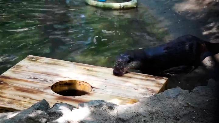 Выдрам из зоопарка подарили дырявый плот — плавать на нём они боятся