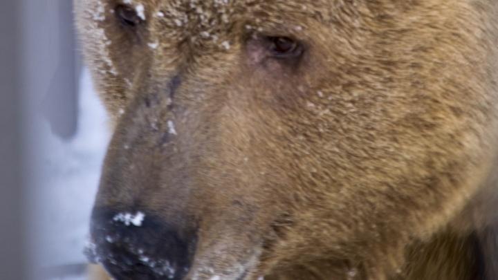 «Кто почешет спинку?»: в Екатеринбурге проснулись медведи