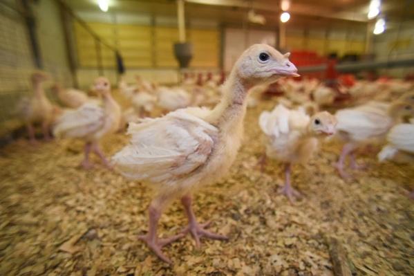 Каждая индюшка из нового стада «Евродона» весит всего 500 граммов