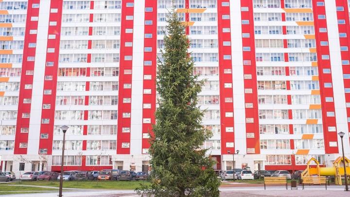Небывалых размеров ель привезли в один из дворов Новосибирска