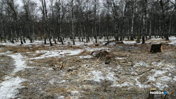 Безжалостная вырубка деревьев идет по Красноярску: три случая, возмутившие горожан