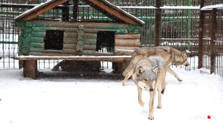 Деревню в Башкирии атаковали волки