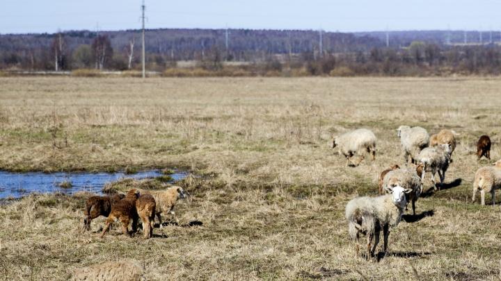 В Ярославской области чиновников заставили заплатить за овец, которых загрызли бездомные собаки