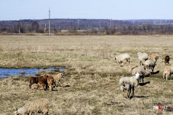 Почти два десятка овец были загрызены в Переславле-Залесском