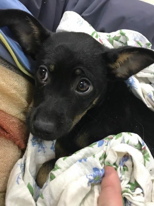 Лёгкие у щенка были поражены из-за падения на 95%