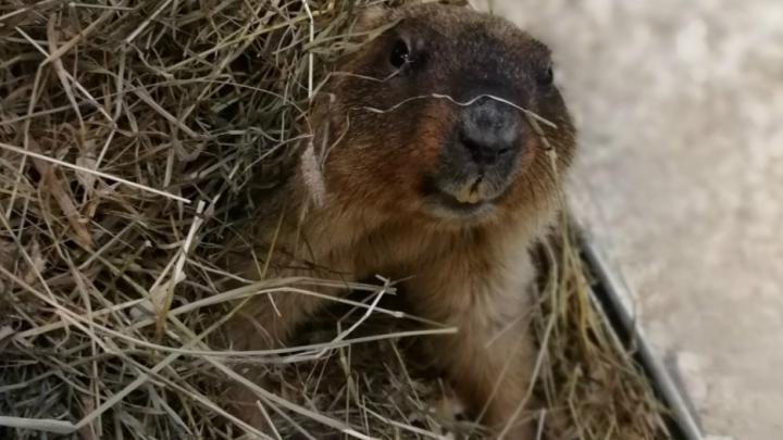 Сурок Фёдор из ярославского зоопарка рассказал, какой будет весна в центральной России
