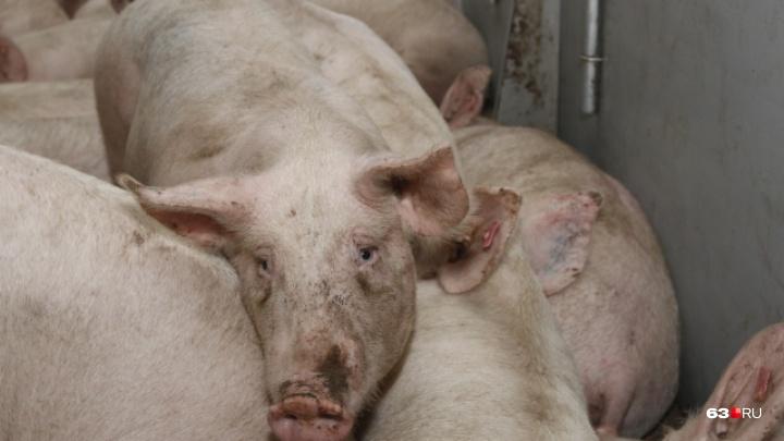 Россельхознадзор: «В Самарской области — высокая угроза африканской чумы свиней»