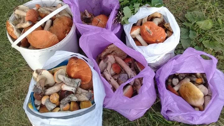 Полные багажники грибов: смотрим, с чем возвращаются из леса тюменцы (и делимся координатами)