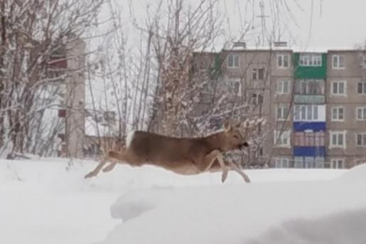 «Дед Мороз, похоже, оленей растерял»: в Башкирии по дороге разгуливало парнокопытное