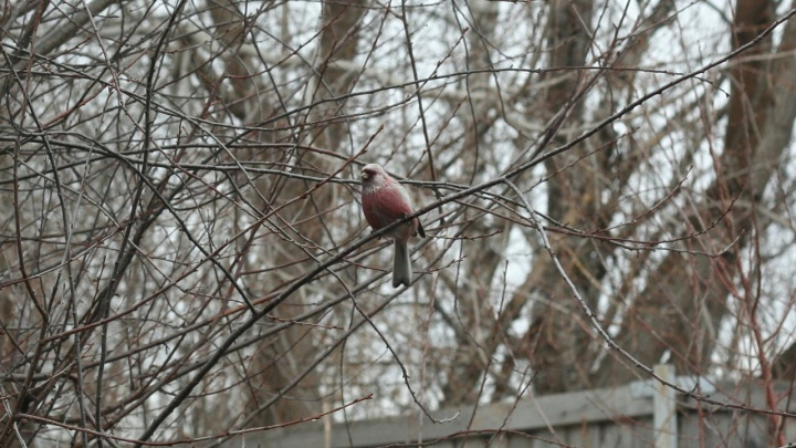 В Новосибирске заметили редкого розового урагуса