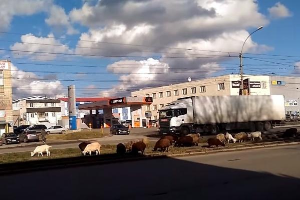 Животные спокойно жевали траву и отдыхали посреди оживлённой улицы