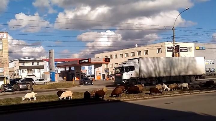 На трамвайные пути на Петухова вышло стадо баранов