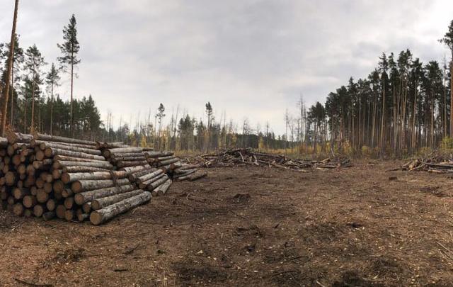 «Это безопасность жителей и спасение леса»: челябинцам объяснили вырубку деревьев в городском бору