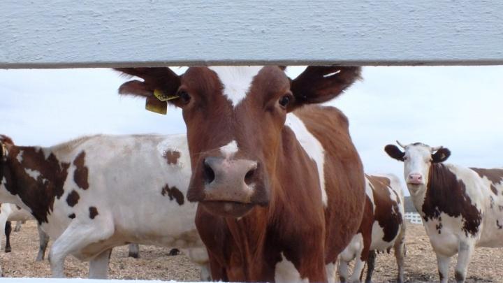 На сельхозпредприятии экс-главы Канского района нашли нарушения и антибиотики в молоке
