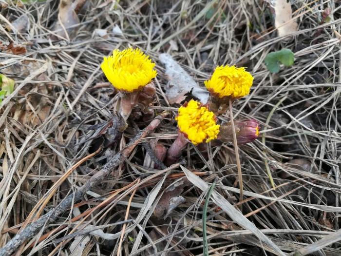 Цветы мать-и-мачехи появляются раньше листьев